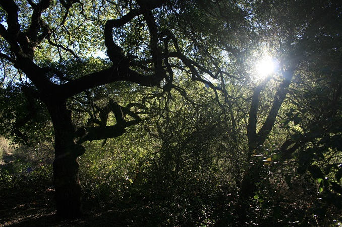 Live oaks and sunlight in Trabuco Canyon
