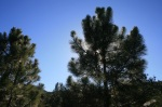 2:50 - Pines