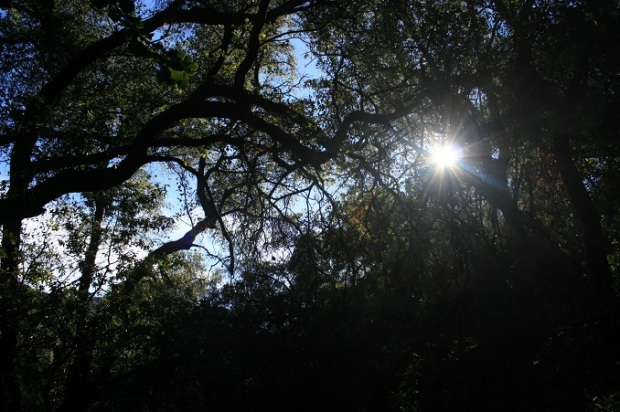 Oaks and sunlight, Romero Canyon
