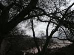 3:00 - Live oaks below the vista point