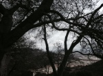 3:00 - Live oaks below the vista point