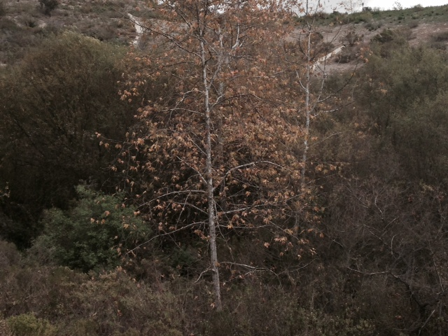 Sycamores on the Talega Trail