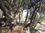 0:04 - Cluster of black oaks