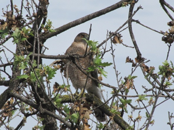 Red tailed hawk, Arroyo Conejo Trail