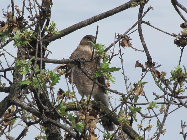 Red tailed hawk, Arroyo Conejo Trail