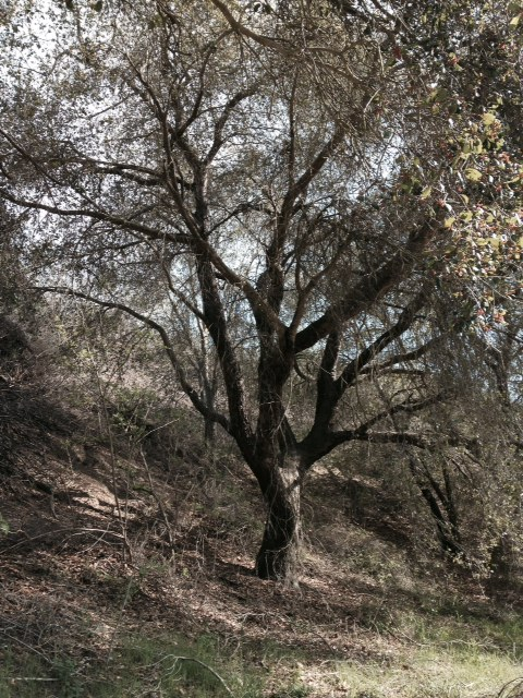 Oak in Arroyo Verde Park