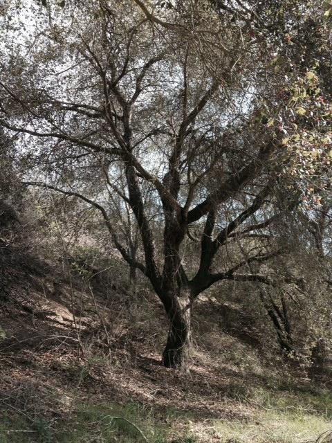 Oak in Arroyo Verde Park