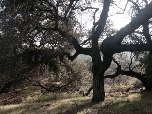 Oaks in Long Canyon