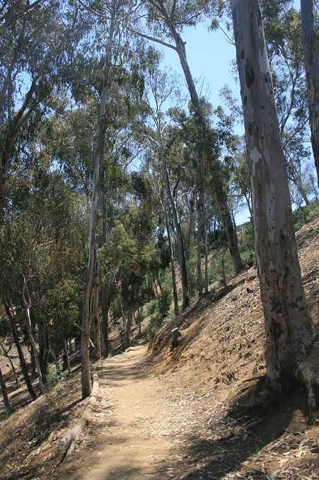 Trail through the eucalyptus trees in Hosp Grove
