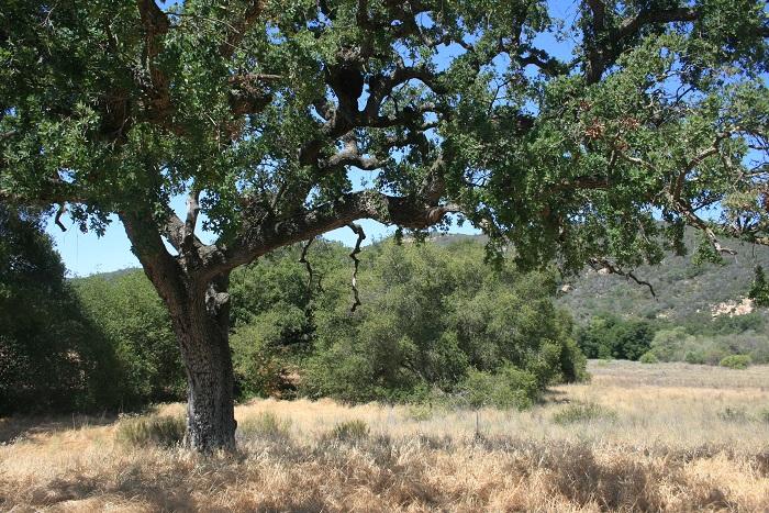 Engelmann Oak in Jack Creek Meadow