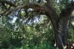 0:55 - Large oak on the eastern leg of the Jack Creek Meadow Loop