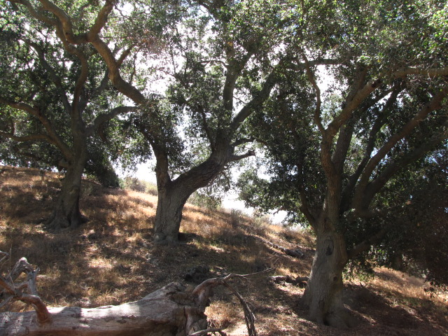 Oaks in a canyon behind Challenger Park