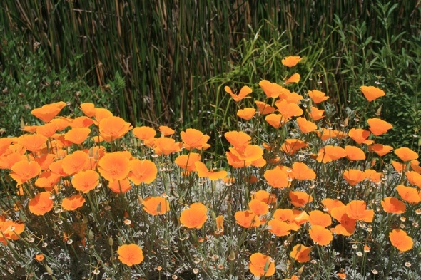 California Golden Poppies, Dominguez Gap Wetlands