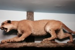0:40 - Stuffed cougar at the nature center