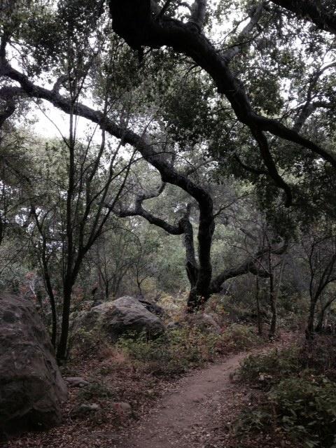 Oaks on the San Antonio Creek Trail