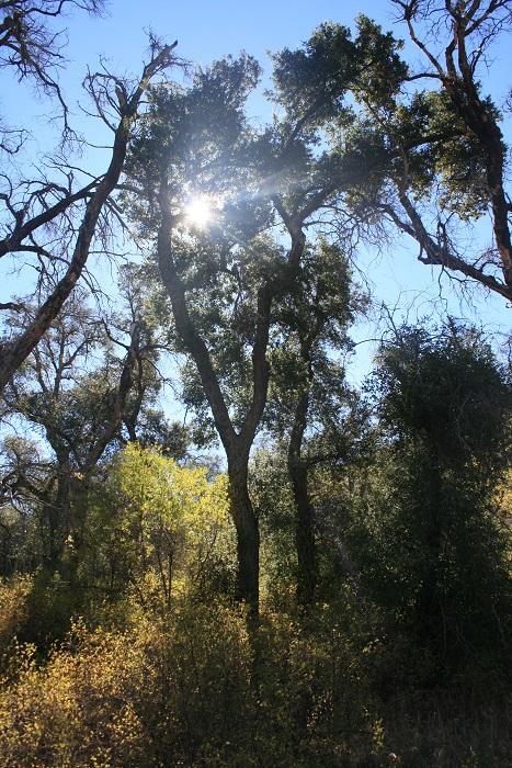Sunlight through oaks on the Merigan Fire Road