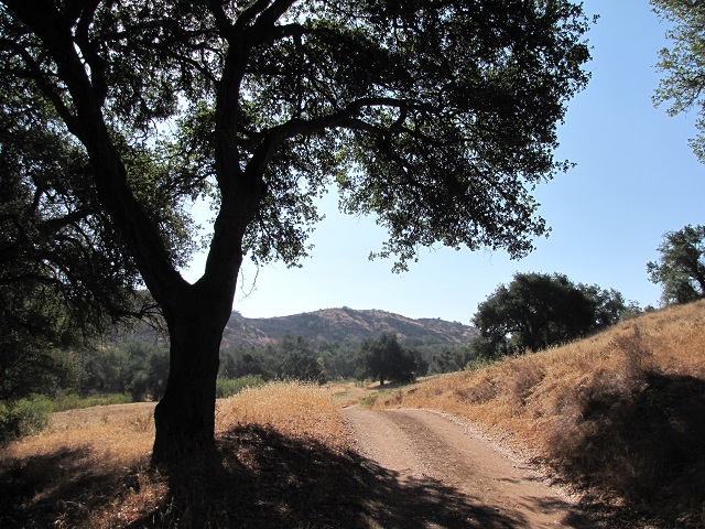 Oak on Limestone Canyon Road