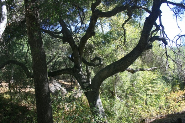 Oaks in Willis Canyon