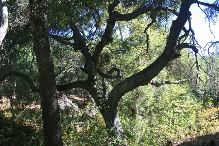 Oaks in Willis Canyon