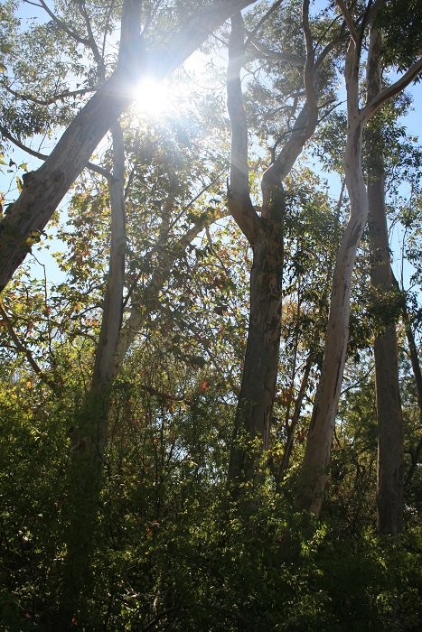 Oaks, sycamores and eucalyptus trees in the canyon, Chatsworth Trails Park