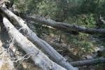 Fallen logs in the San Bernardino National Forest