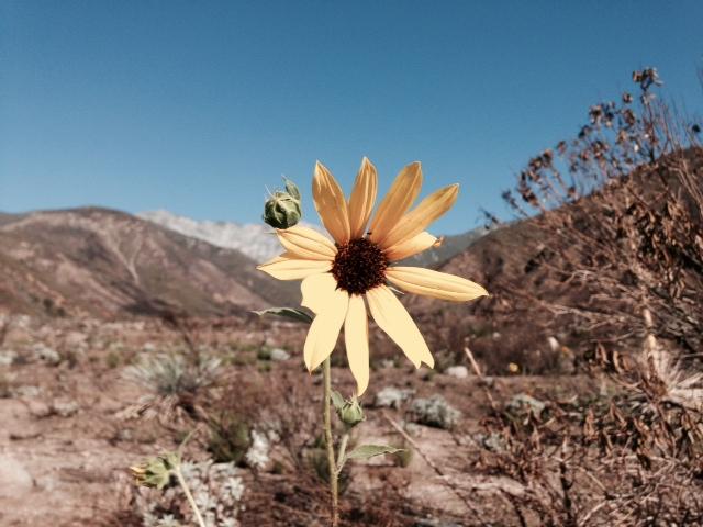 Daisy, North Etiwanda Preserve