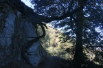Oak growing out of the rocks on the Bear Divide Trail, Angeles National Forest