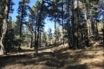 Big Laguna Trail heads through pines, Cleveland National Forest, San Diego County