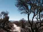 Manzanita on the Pacific Crest Trail, San Diego County, CA