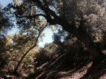 Oak woodlands, Pacific Crest Trail, San Diego County