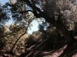 Oak woodlands, Pacific Crest Trail, San Diego County