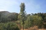 Pine tree, Michael Antonovich Regional Park