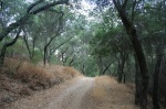 Oaks in the Los Padres National Forest