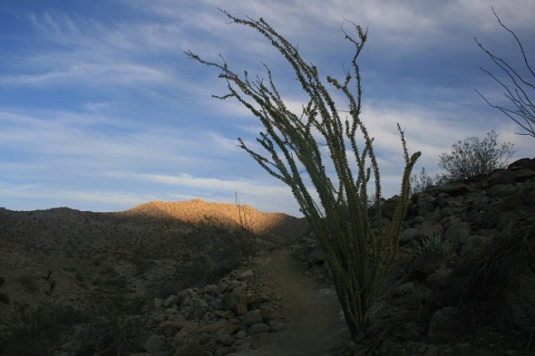 Ocotillo cacti on the Randall Henderson Trail, Palm Desert, CA