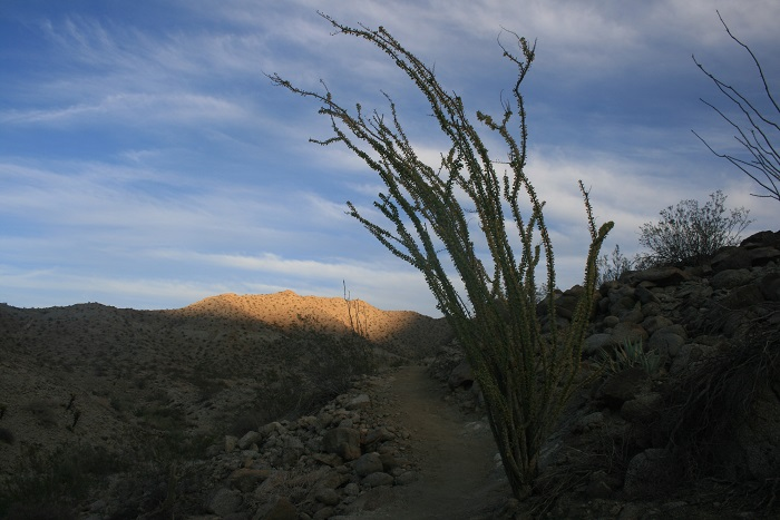 Ocotillo cacti on the Randall Henderson Trail, Palm Desert, CA