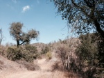 Oaks in Sonome Canyon, Chino Hills State Park