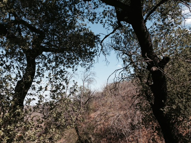 Two oak trees, Chino HIlls Stat Park