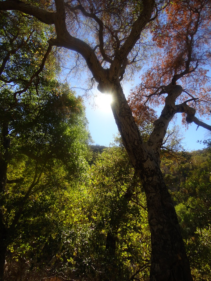 Oaks in Pacoima Canyon on the way to Dagger Flat and Dutch Louie Flat