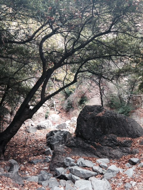 Oaks in Millard Canyon near Dawn Mine, Angeles National Forest, CA