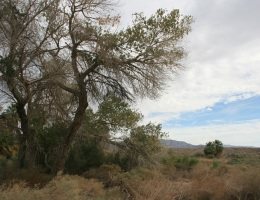 Cottonwood Tree, McCallum Nature Trail