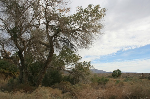 Cottonwood Tree, McCallum Nature Trail