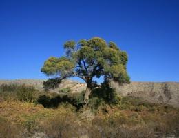 Cottonwod tree, Mission Creek Preserve, San Bernardino Mountains
