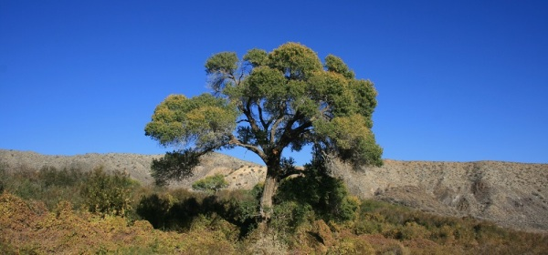 Cottonwod tree, Mission Creek Preserve, San Bernardino Mountains