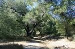 Oak woodland, Oak Oasis Open Space Preserve, Lakeside, CA