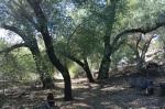 Oak woodlands, Oak Oasis Open Space Preserve, Lakeside, CA