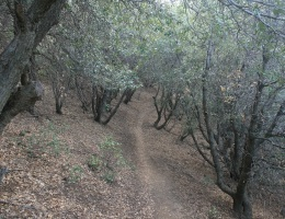 Black oaks on the Pacific Crest Trail, Sierra Pelona, Angeles National Forest