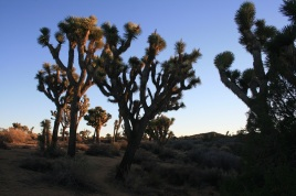 Grove of Joshua Trees on the Covington Crest Trail, Joshua Tree National Park