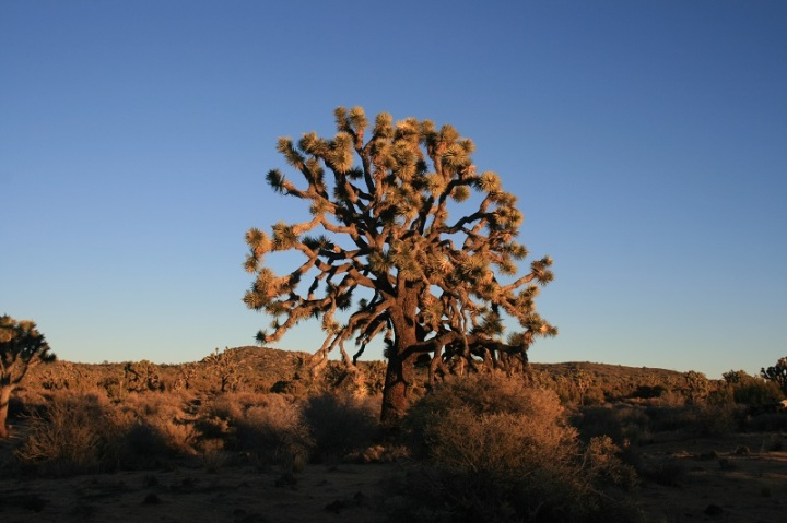 Joshua Tree at dusk, Covington Crest Trail, Joshua Tree National Park