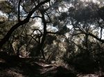 Oak woodlands, Slaughterhouse Canyon Trail, Murrieta, CA