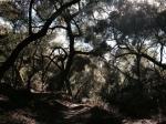 Oak woodlands, Slaughterhouse Canyon Trail, Murrieta, CA